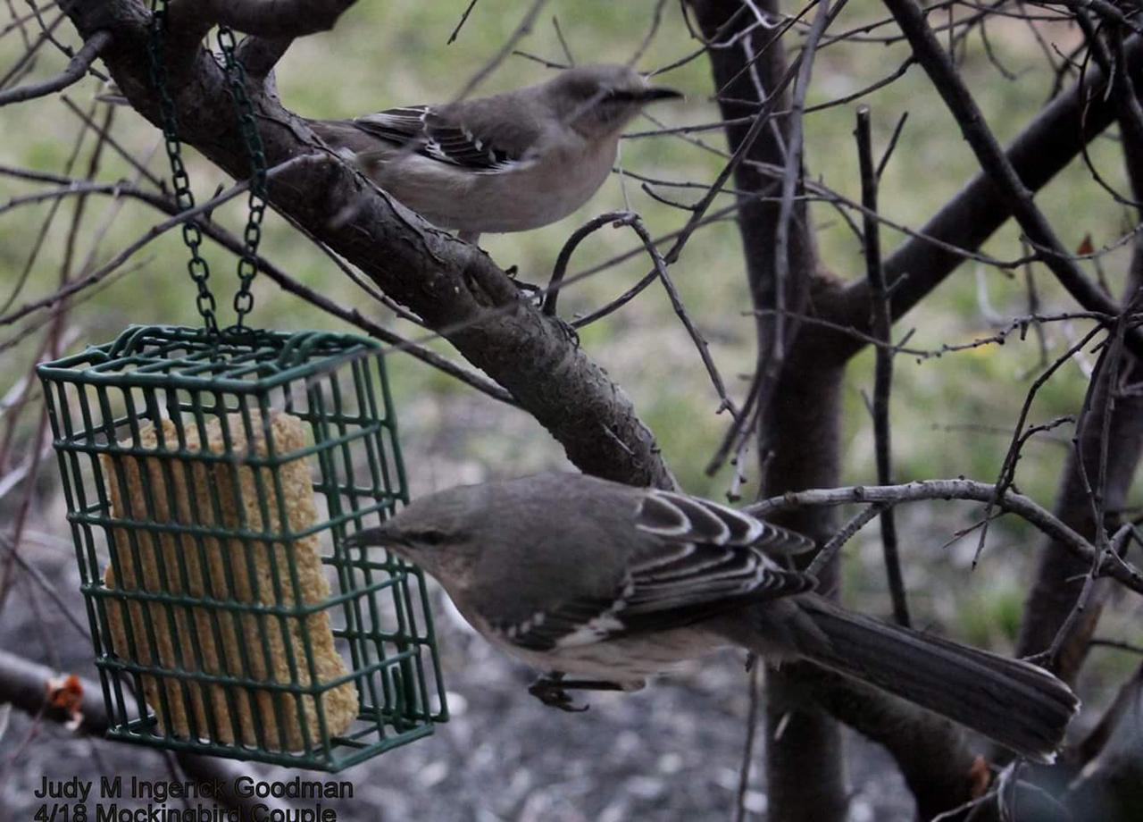 A mockingbird couple in Ontario County (photo)