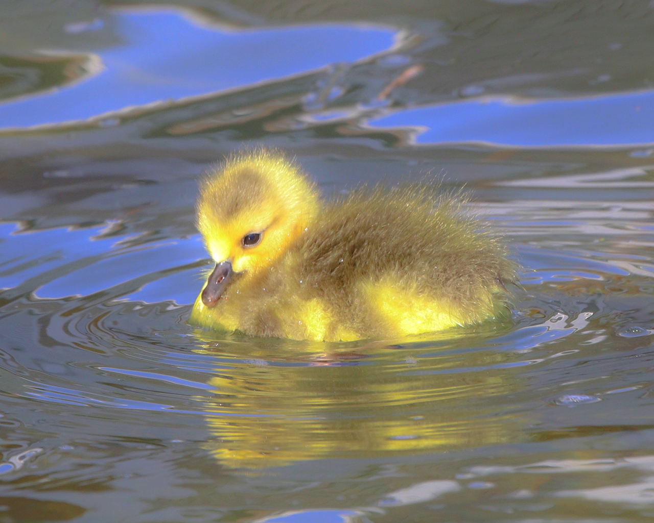 A newly hatched gosling in Ontario County (photo)