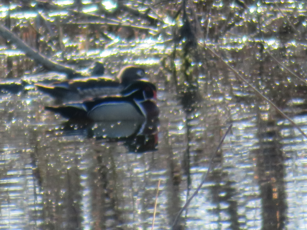 A pair of ducks swimming together in Seneca County (photo)