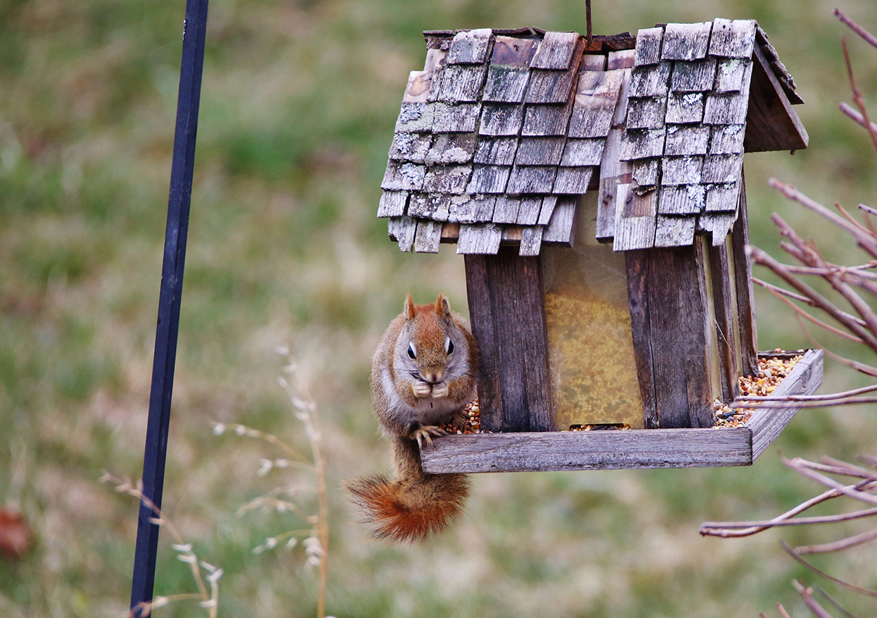A Red Squirrel eating fresh seeds in Tompkins County (photo)